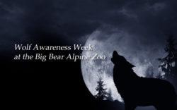 wolf-week-big-bear
