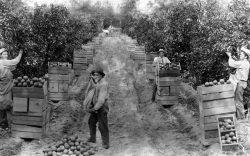Orange Harvest - Redlands California