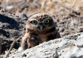 Chino College Owl