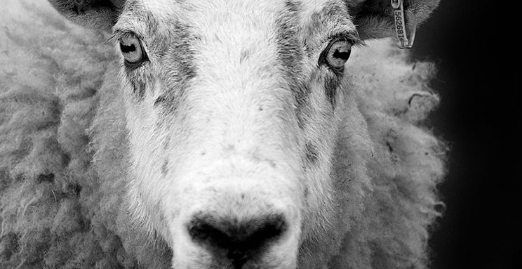 San Bernardino Museum Sheep